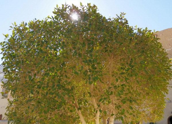 http://www.yogi.lt/wp-content/uploads/2012/11/medis_egiptas_2011-2.jpg